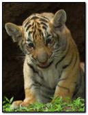 Ittle Tiger