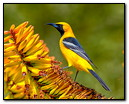 Oriolus Multicolor )