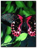 Red & Black Buterfly
