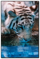 White Tiger Near Water