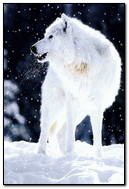 Wolf At Snow