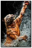 Tiger Sprays Of Water
