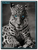 Tiger Blue Ojos