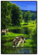 Loups au bord de la rivière
