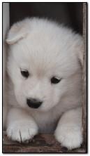 белая собака