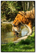Tigers At The Waterhole