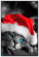 قطة سانتا