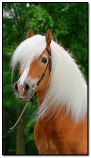 Белая гривенная лошадь