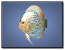 Blue Fish 320x240