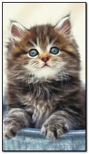 Manis Kitten