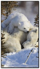 Pollar Bears