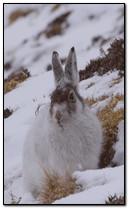 أرنب الشتاء