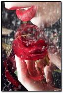 बारिश और गुलाब