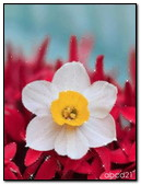 White Flower On Red Background