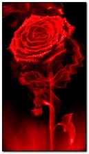 Rose auf Feuer
