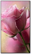 गुलाबी गुलाब