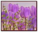 Anim Tulips