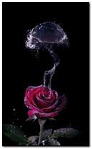 Rosa Subaquática