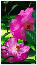 Çiçekler pembe