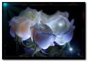 Anim White Roses