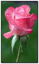 Hồng hồng