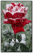 rosa de neve