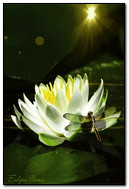 Dragonfly On White Lotus