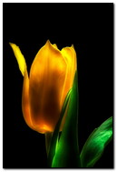 ดอกไม้ดอกทิวลิป