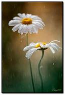 Daisies In The Rain