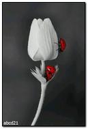 ดอกทิวลิปขาวและเต่าทอง
