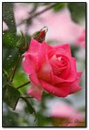Rose unter Regen