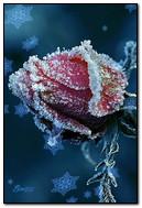 Rose In Hoarfrost