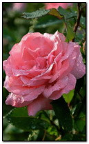 Мокрая розовая роза