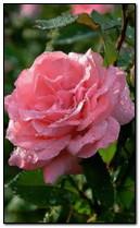 Rosa rosa mojada