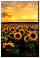 bunga matahari