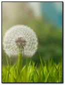 Dandelion In The Wind