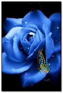 गुलाब और तितली