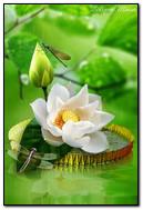 Chuồn chuồn trên hoa sen trắng