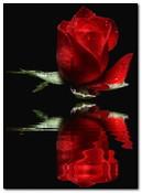 Re Rose Reflet