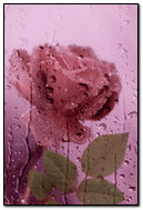 Розовая мокрая роза