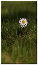 Daisy At Spring Field