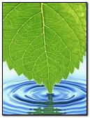 Leaf Drop Wallpaper