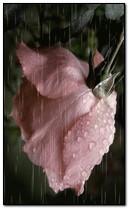 Rose bajo la lluvia