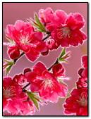 أزهار ساكورا