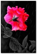 Rain & Rose