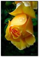 une rose sous la pluie