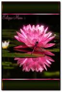Chuồn chuồn trên hoa sen hồng