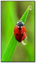 Tapeta na Pulpit Lady Bird Beetle dla telefonów komórkowych