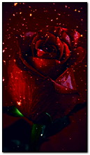 Anim Red Rose