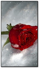 красная роза на снегу